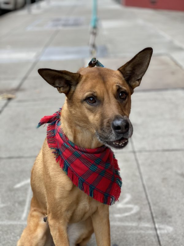 Grinning Pointy-Eared Mutt With Red Bandana