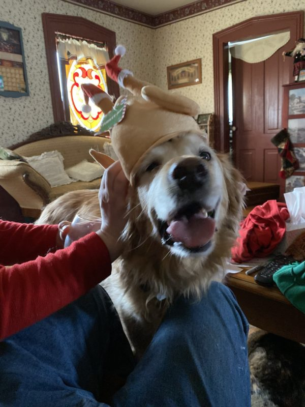 Delighted Golden Retriever Wearing Turkey Hat