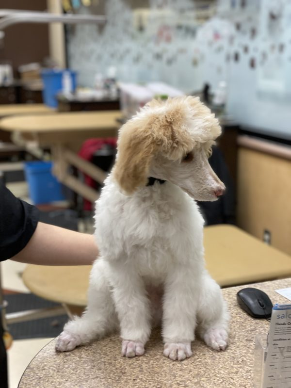 Apricot And White Poodle Puppy