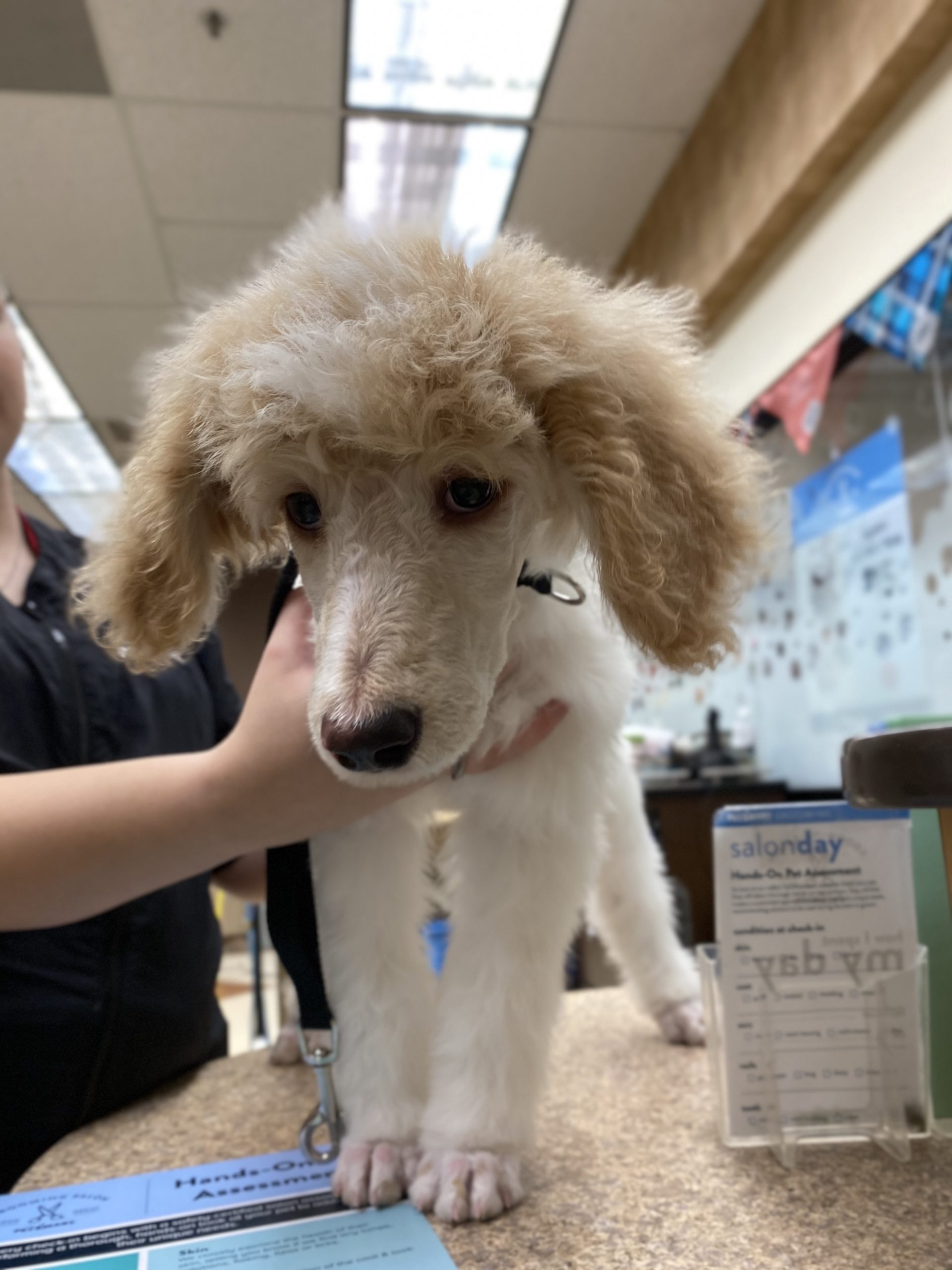 Apricot And White Standard Poodle Puppy
