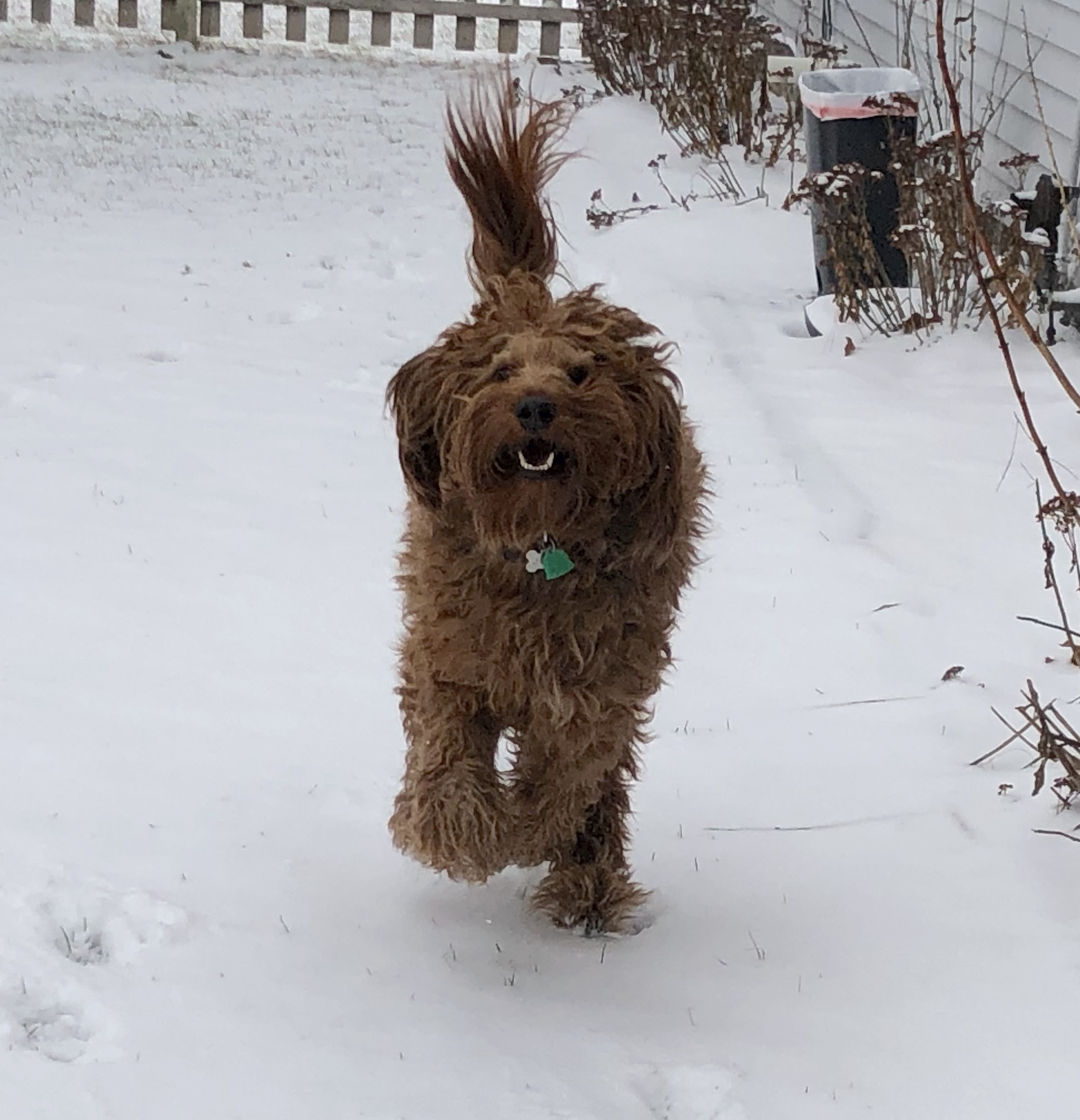 Irish Doodle Playing In The Snow