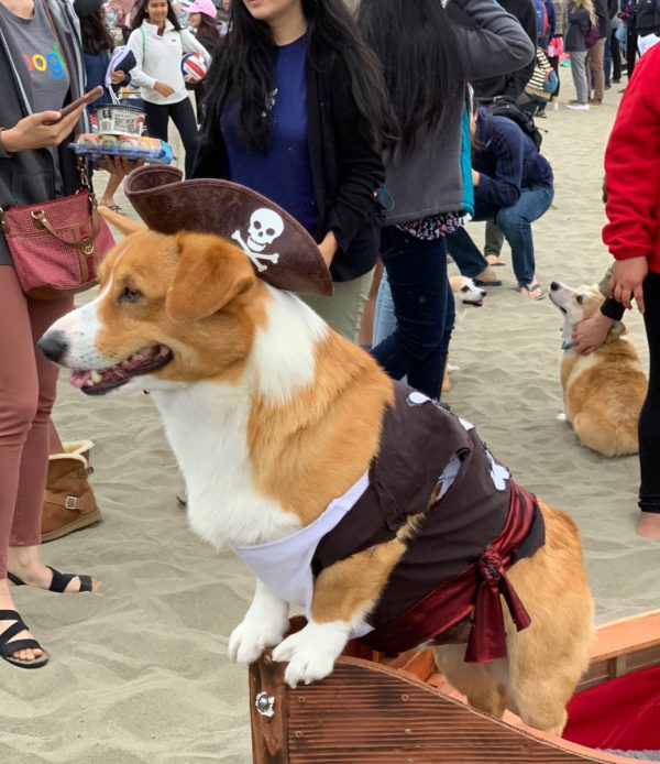 Pembroke Welsh Corgi In A Pirate Costume Standing In The Bow Of A Fake Ship