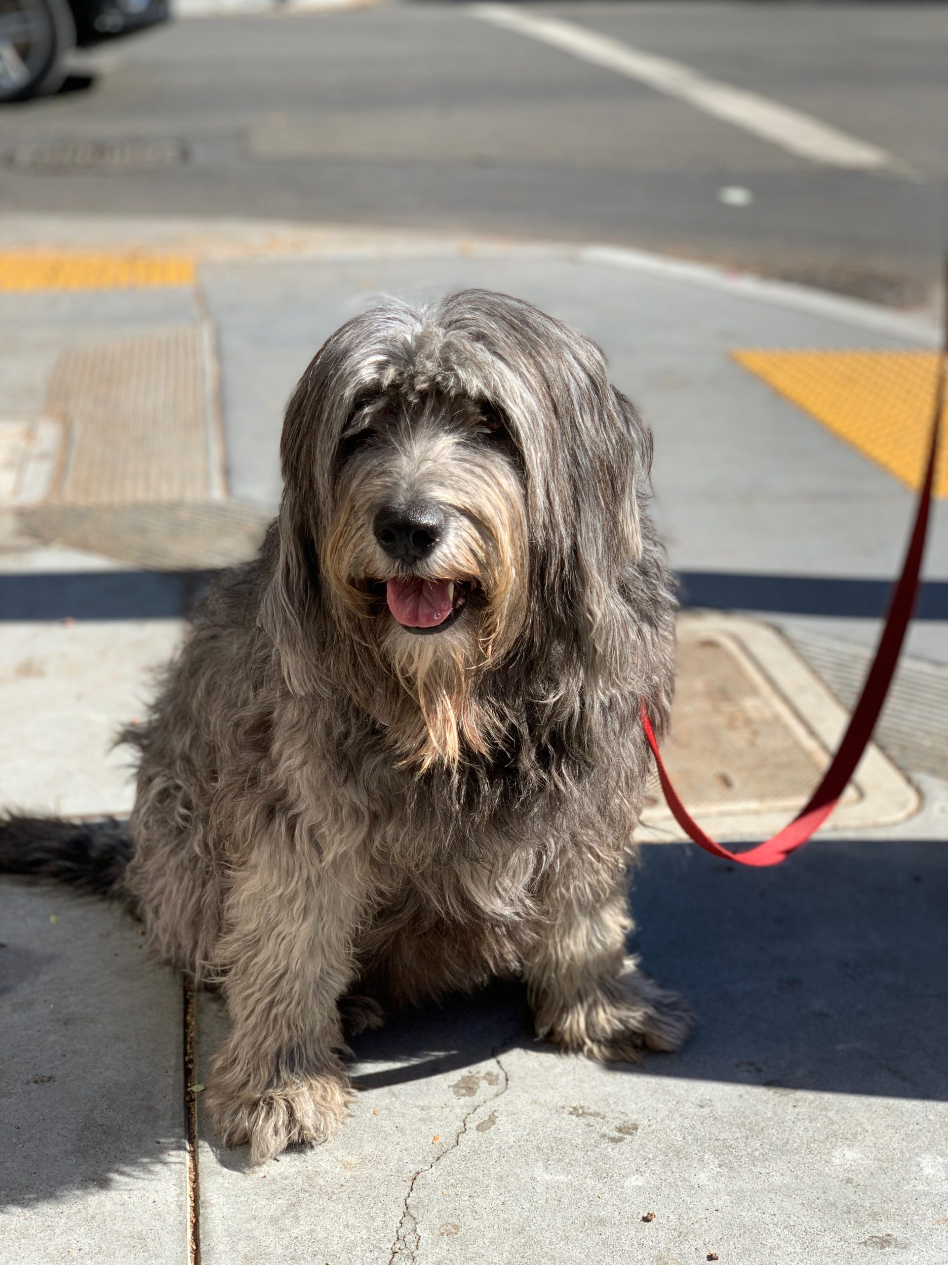 Bearded Collie Grinning