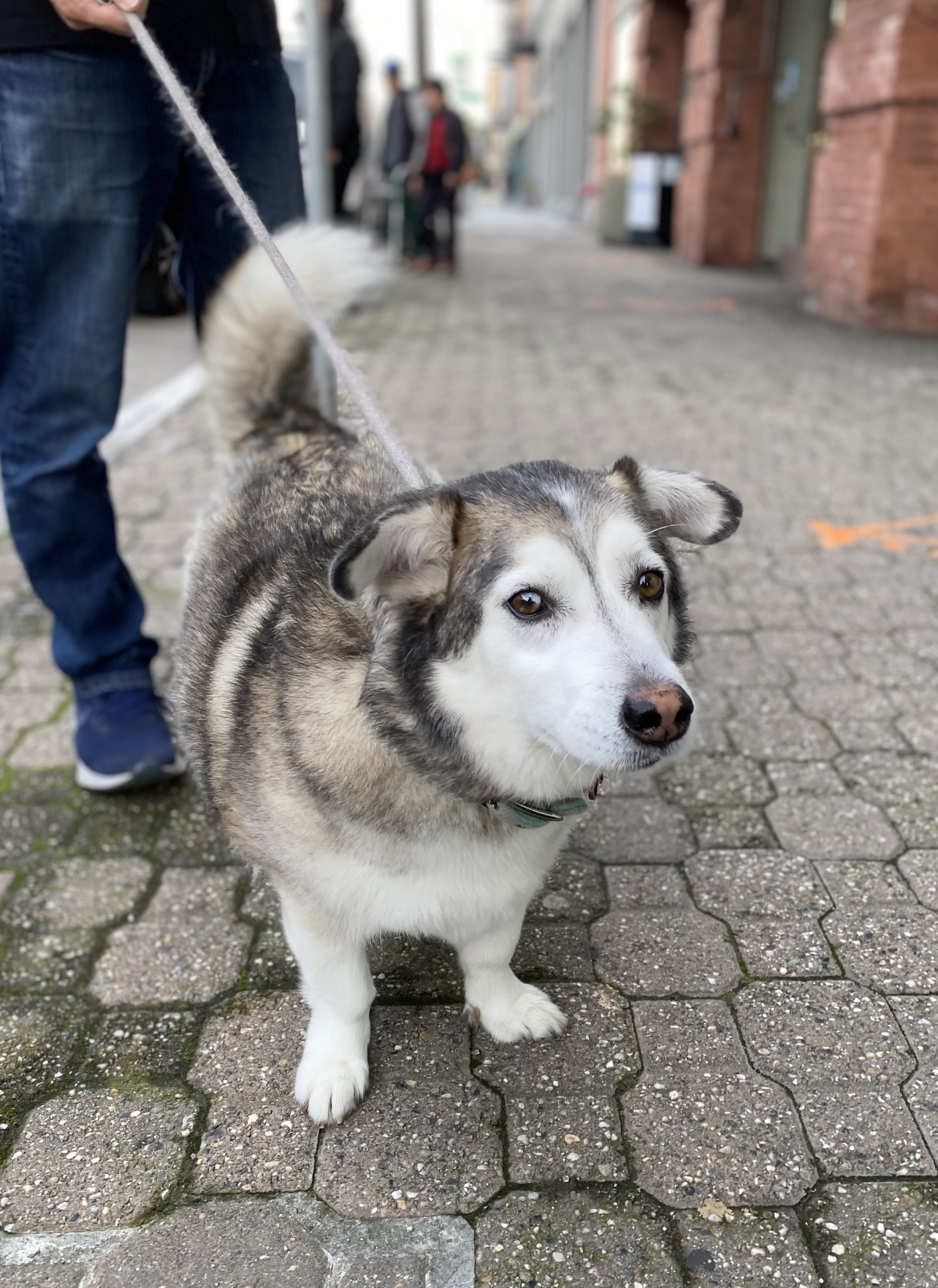 Pembroke Welsh Corgi Siberian Husky Mix Maybe With Half Floppy Ears