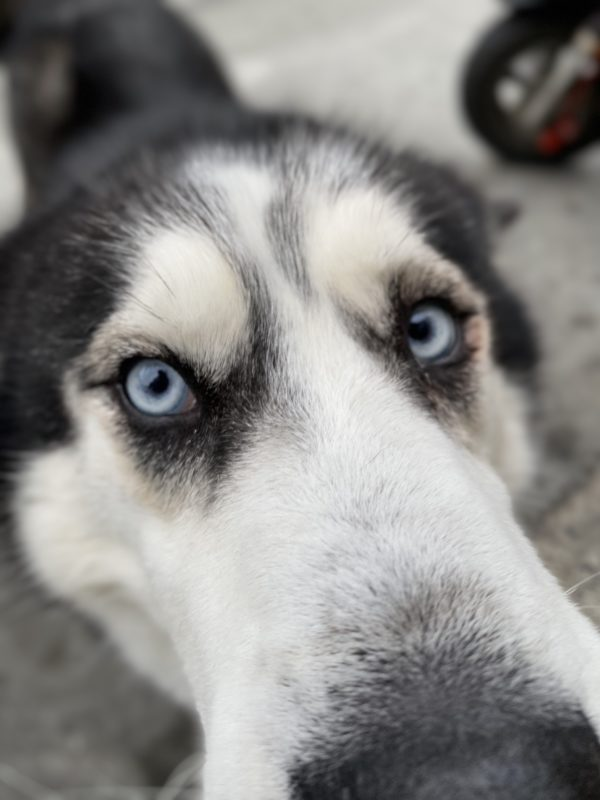 Black And White Siberian Husky With Blue Eyes Sticking Her Nose In The Camera