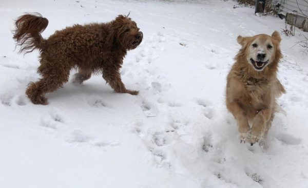 Irish Doodle And Golden Retriever Playing In The Snow