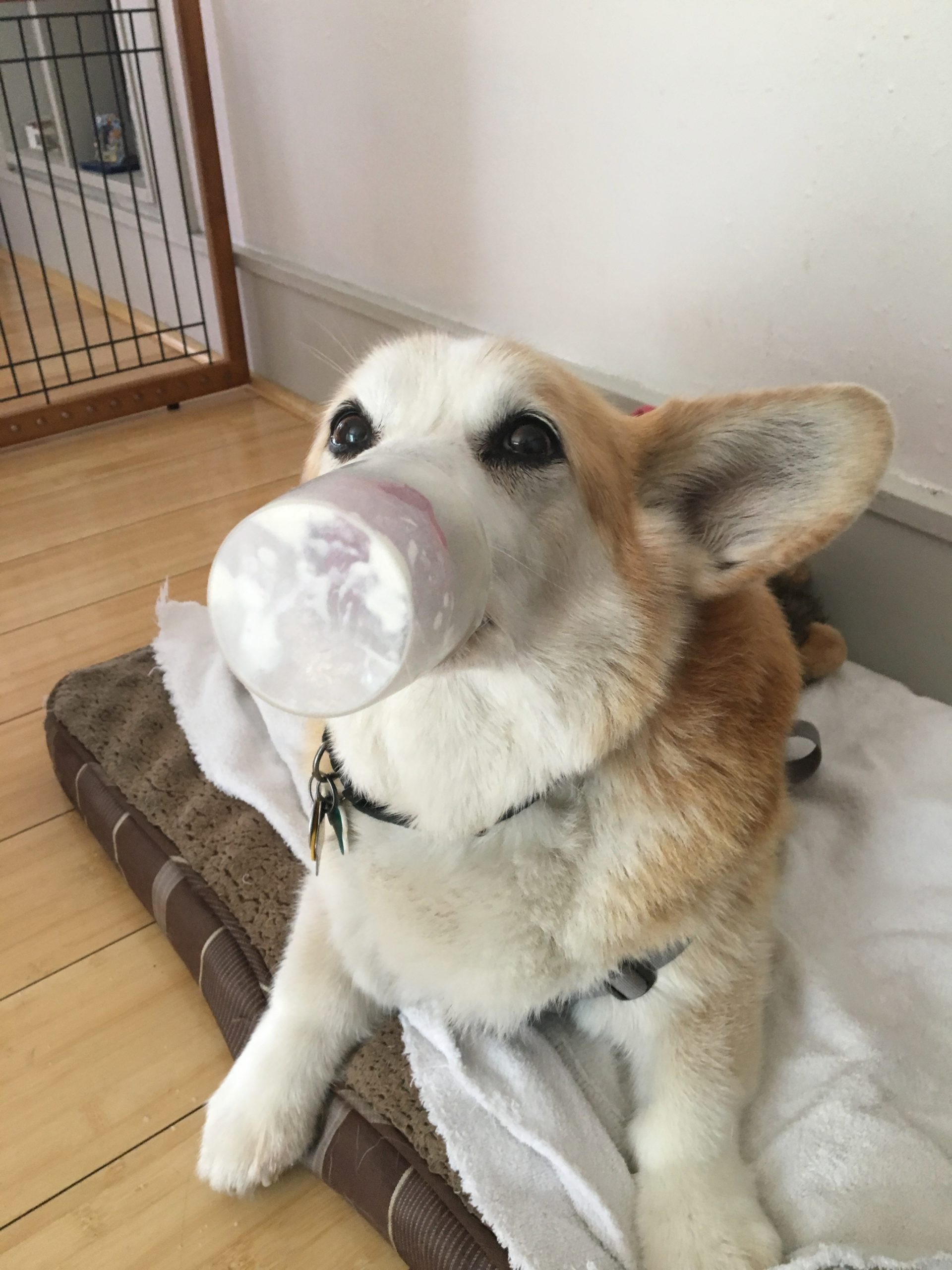 Pembroke Welsh Corgi With A Cup Stuck On His Nose