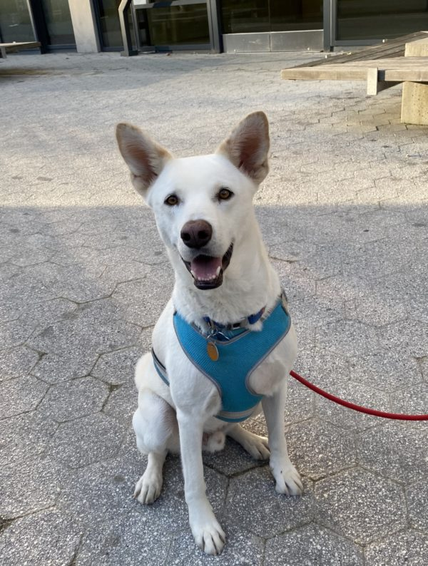 White Shepherd Korean Jindo Mix Grinning