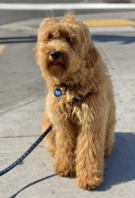 Golden Retriever Poodle Mix Puppy