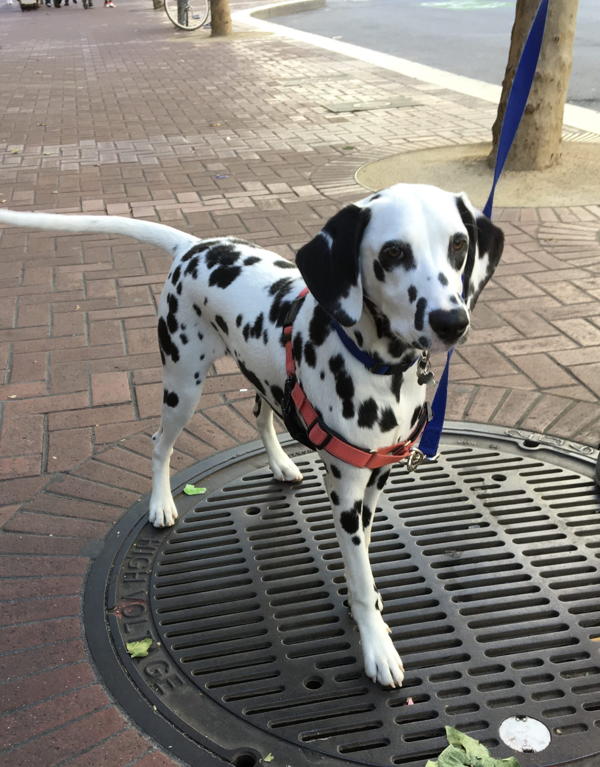 Dalmatian Puppy Standing On A Manhole Cover