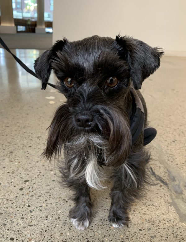 Black And White Miniature Schnauzer