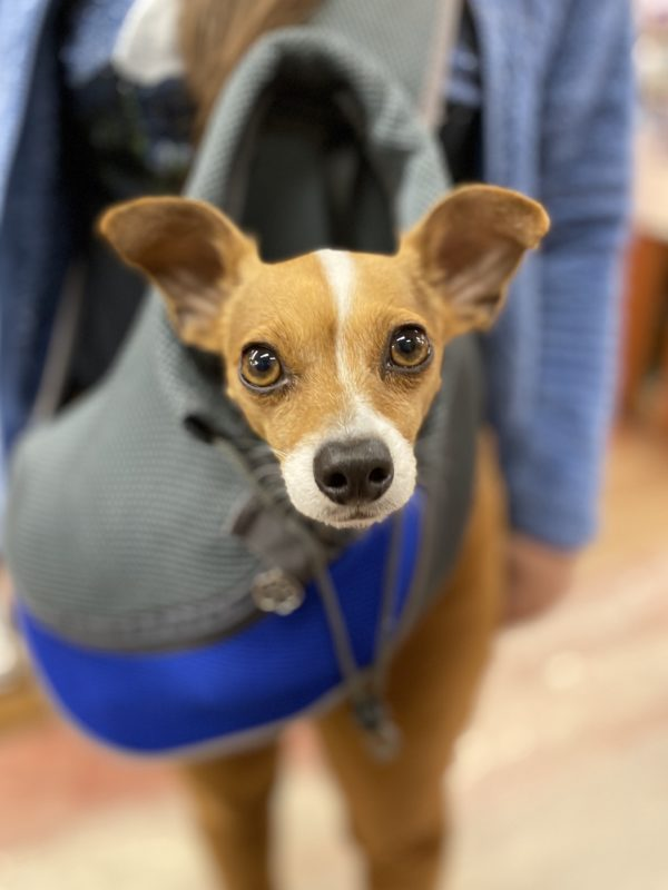 Italian Greyhound Chihuahua Mix With Ridiculous Ears Peeking Out Of A Bag