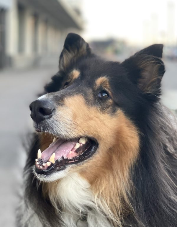 Collie Looking Cheerful