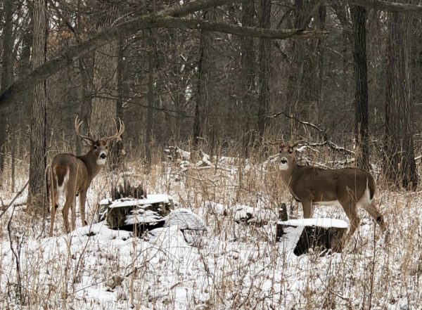 Two Bucks In Snow