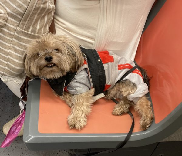 Small Dog On MUNI Seat