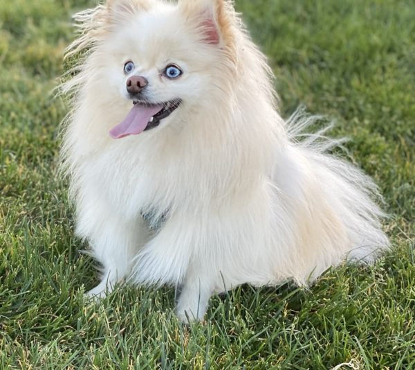 Blond Pomeranian With Blue Eyes