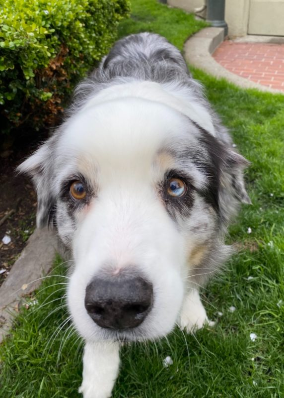 Blue Merle Australian Shepherd With Partial Hererochromia Staring Into The Camera