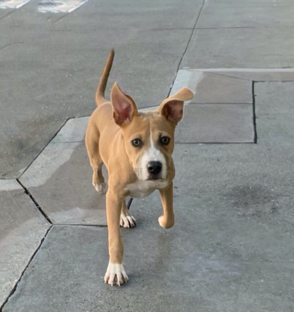 American Pit Bull Terrier Boxer Mix Puppy Running