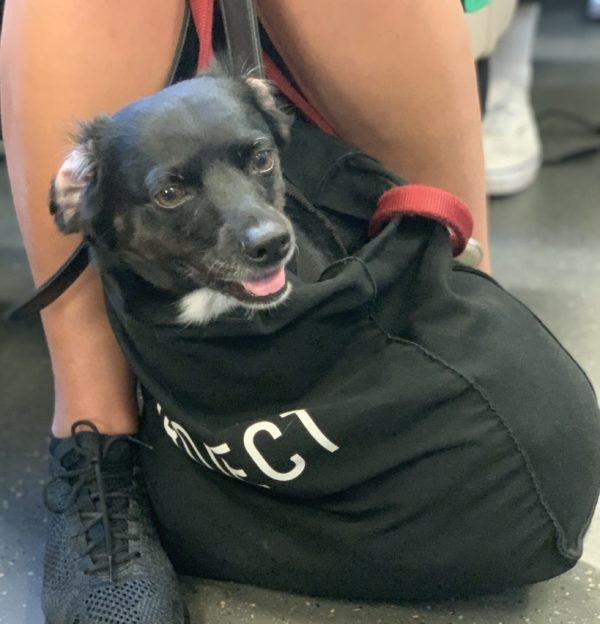 Little Black Dog In A Bag