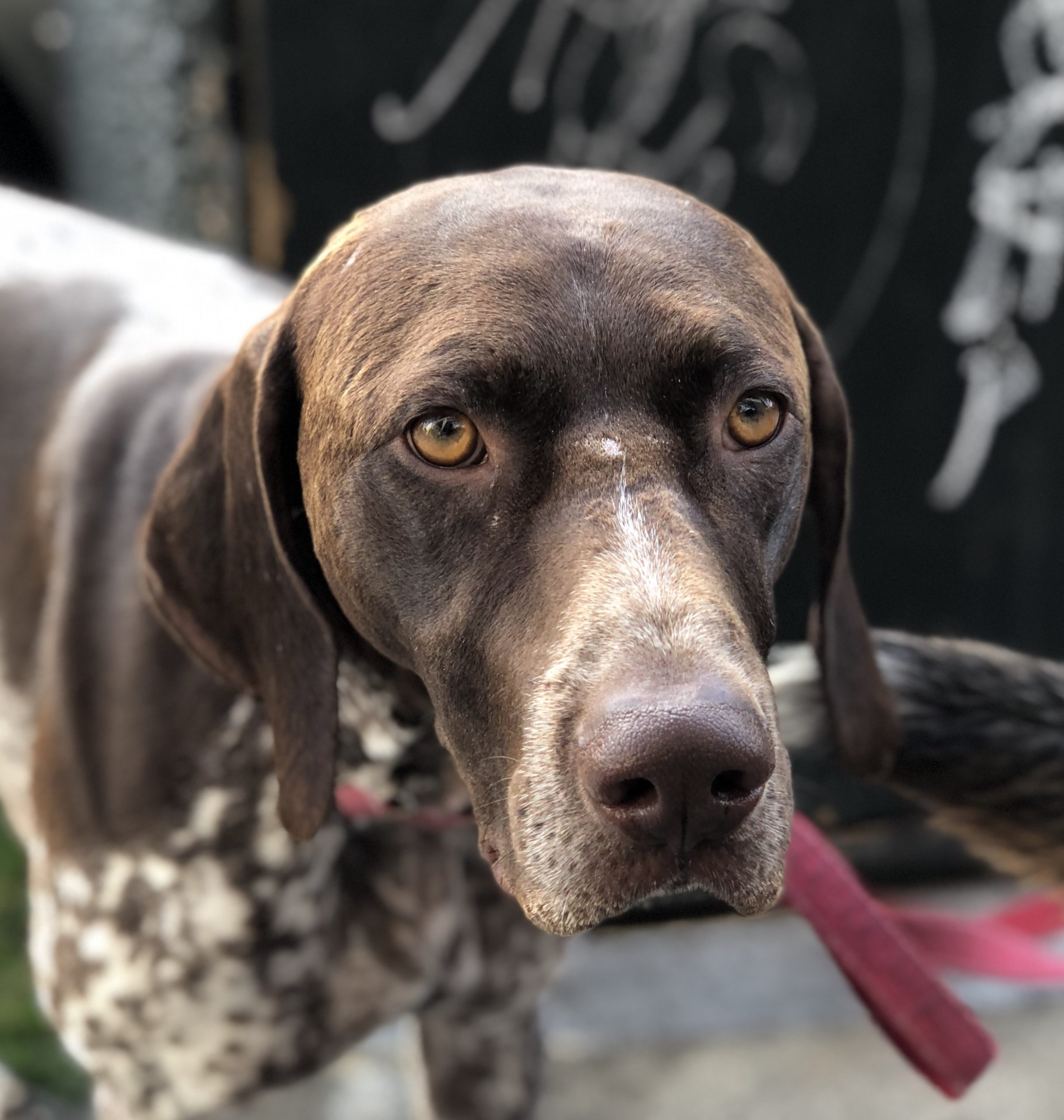 German Shorthaired Pointer Looking Very Serious