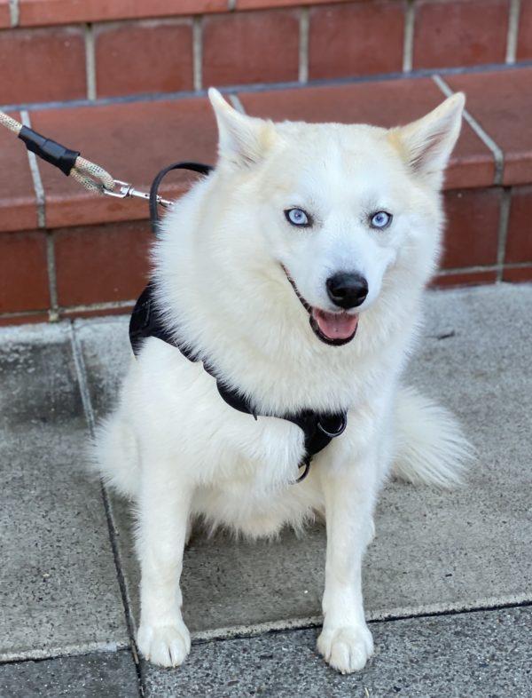 Pomeranian Husky Mix With Light Blue Eyes