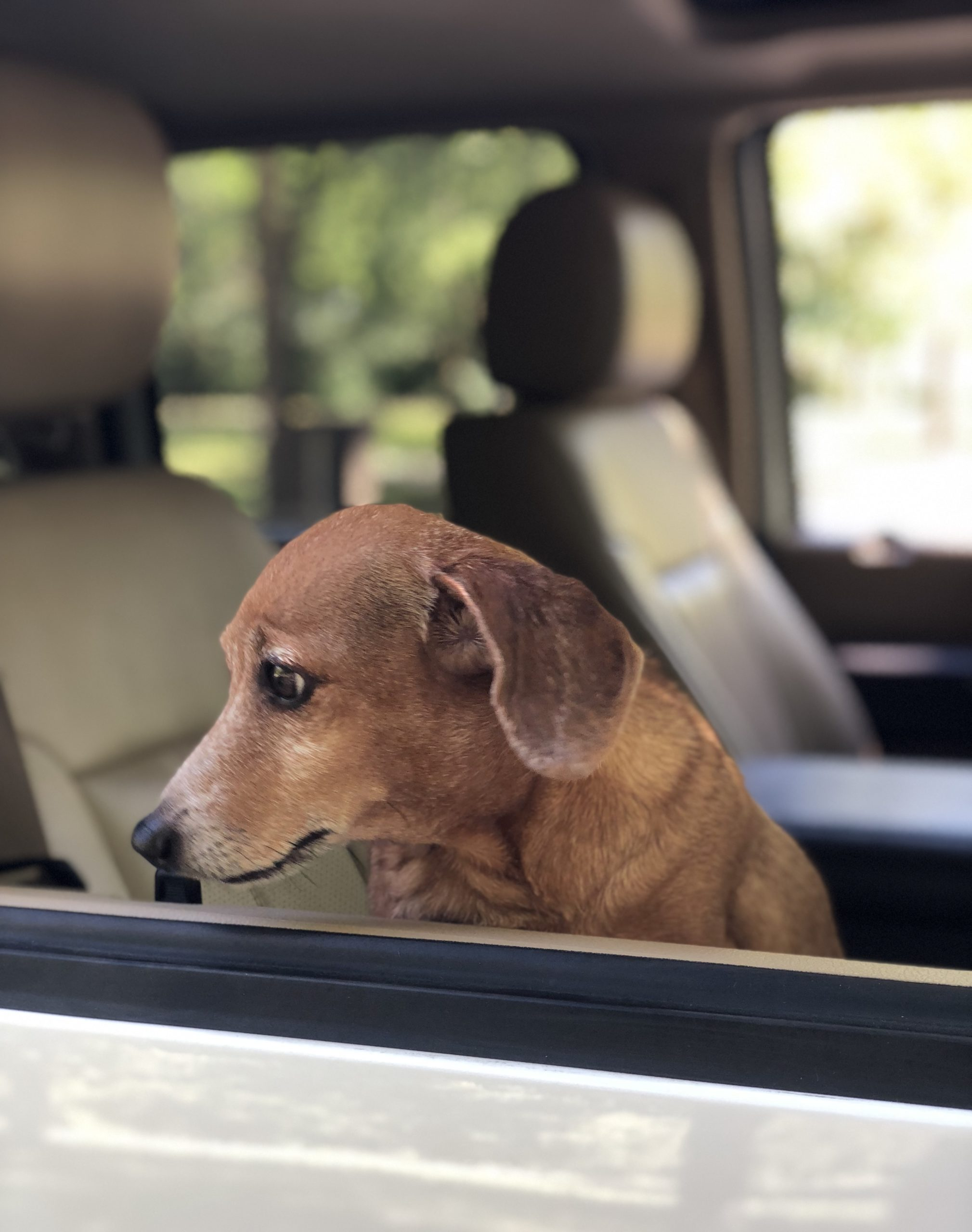 Sad Dachshund Looking Out Of Car Window