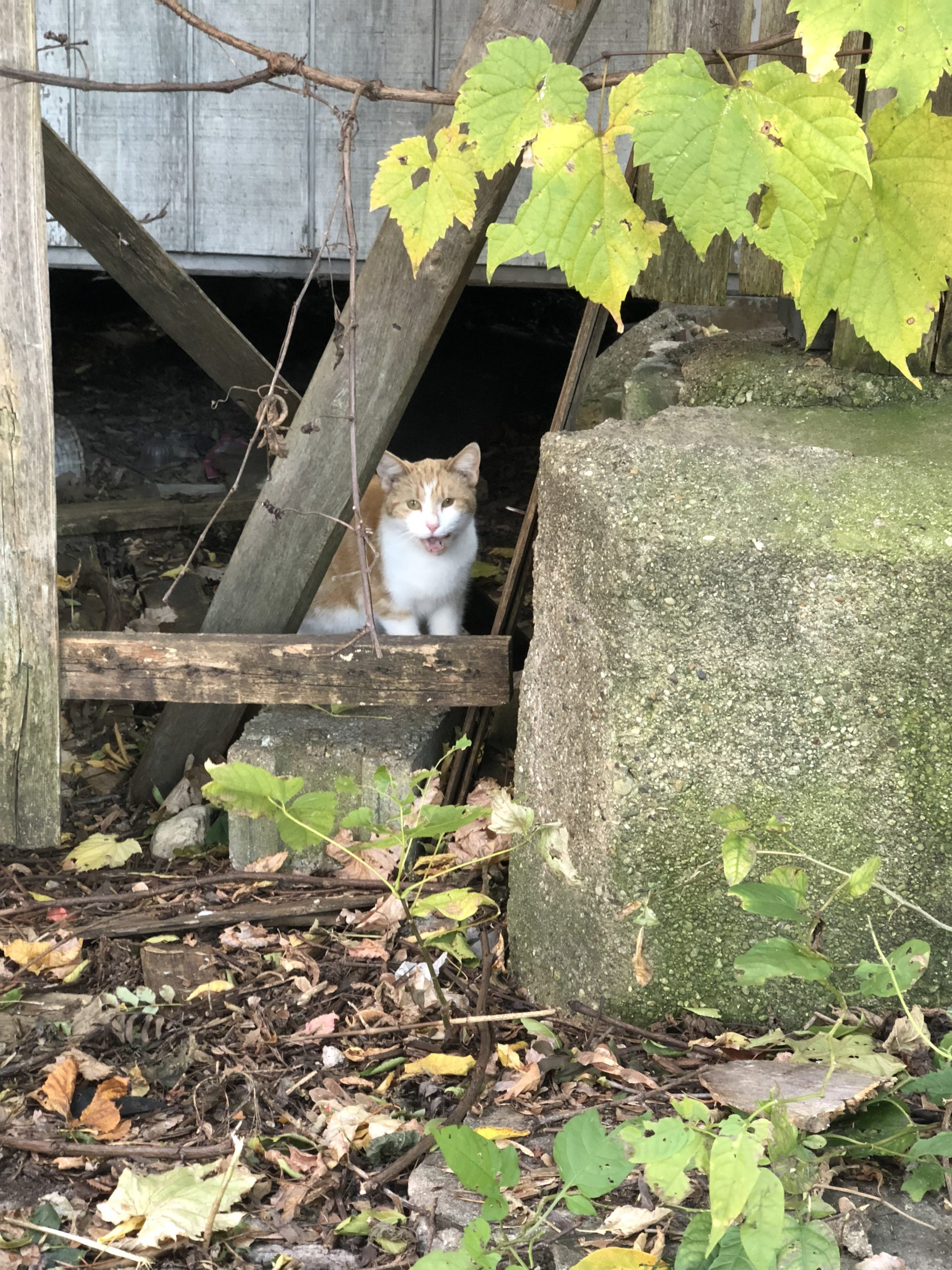 Cat Looking Out From Under Building
