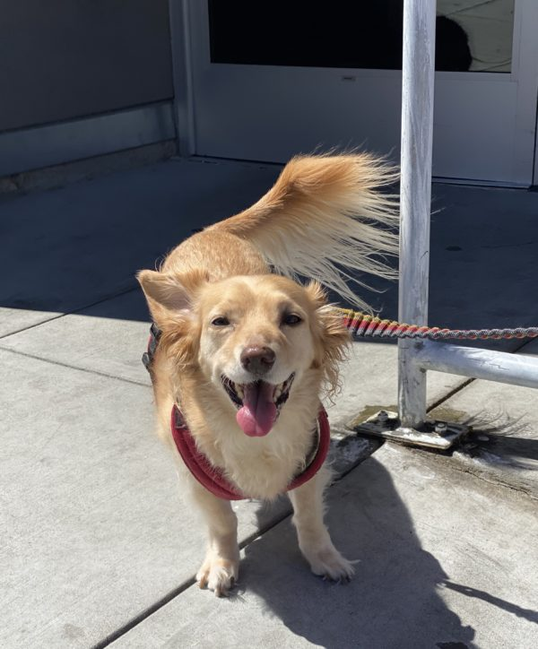 Blond Pembroke Welsh Corgi Long-Haired Dachshund Mix Grinning At The Camera