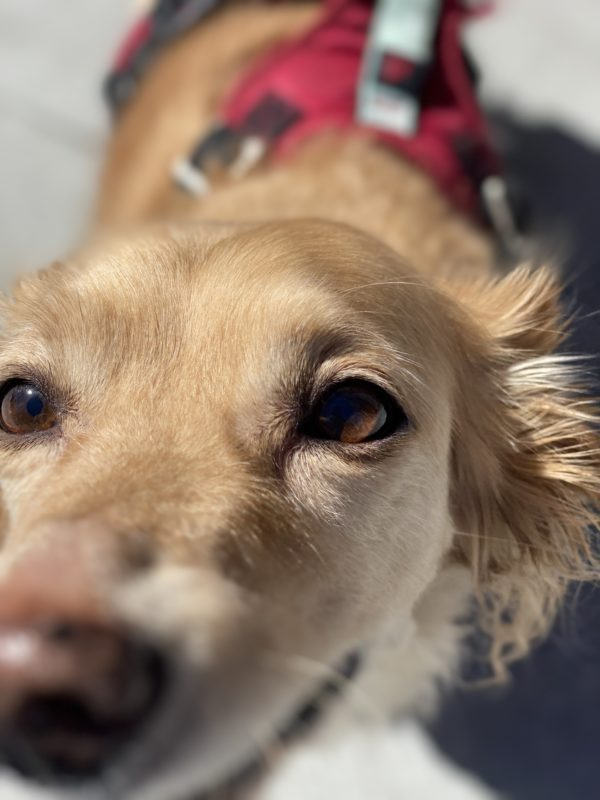 Blond Pembroke Welsh Corgi Long-Haired Dachshund Mix Sniffing The Camera