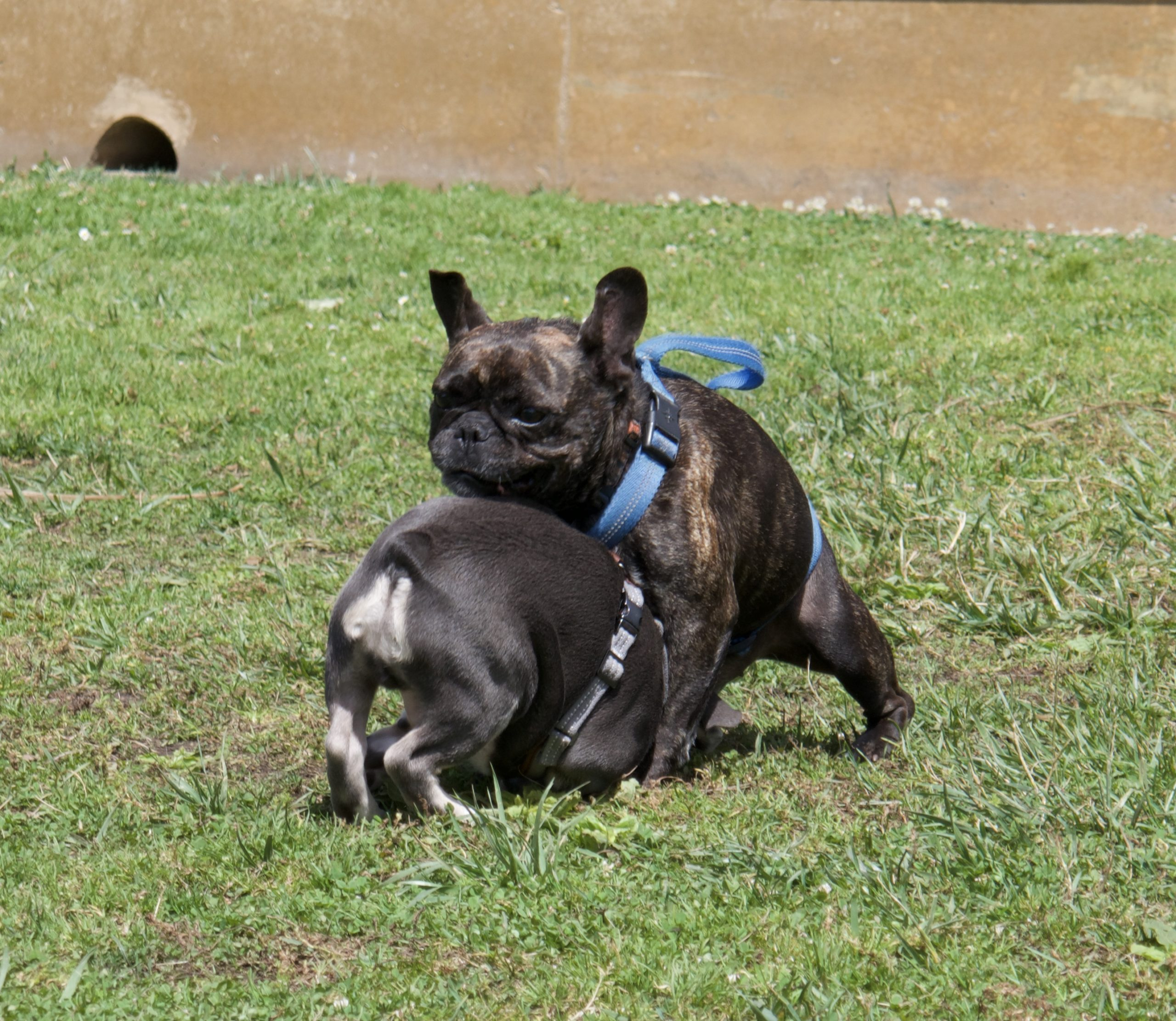 Two French Bulldogs Wrestling