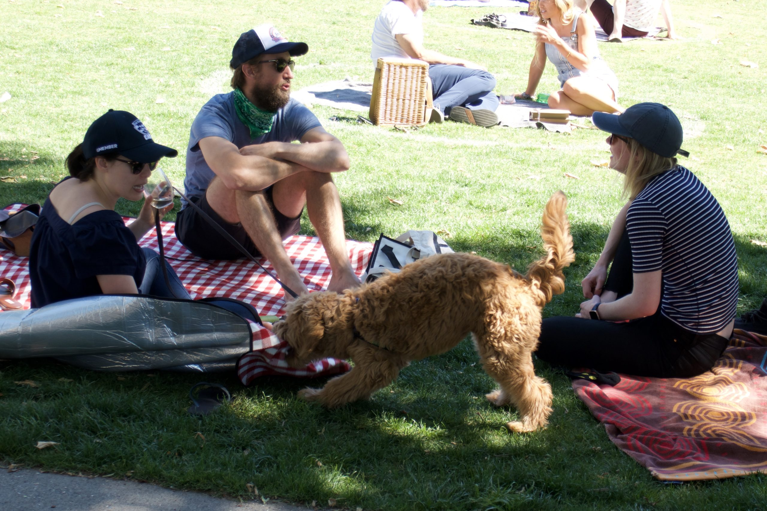 Goldendoodle Playing Tug Of War With A Picnic Blanket