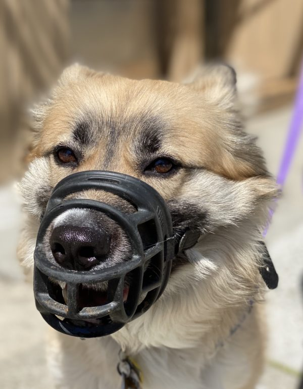 German Shepherd Husky Mix Wearing A Muzzle