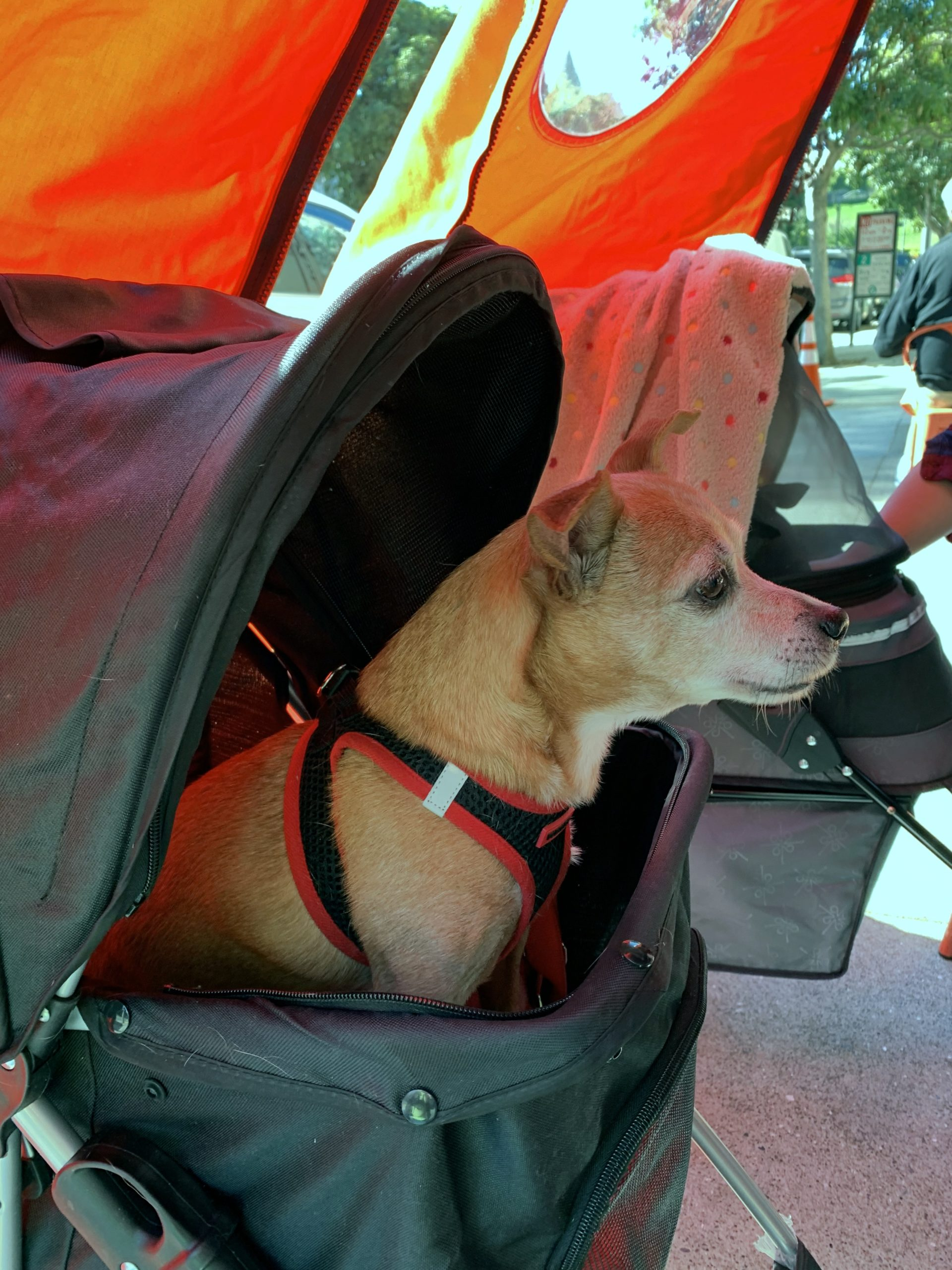 Chihuahua Dachshund Mix In A Baby Carriage