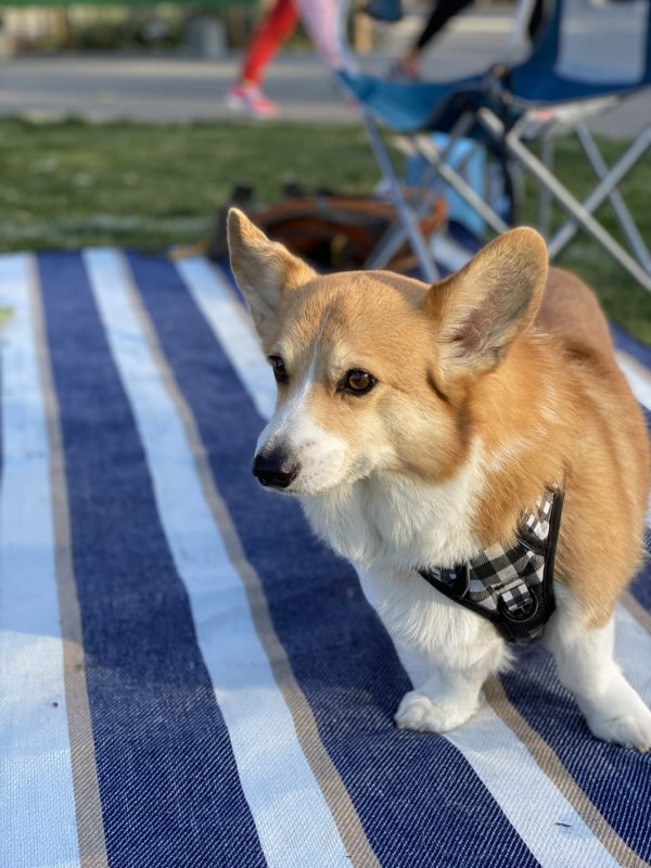 Pembroke Welsh Corgi Looking Serious