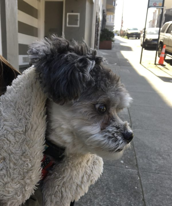 Small Grey Poodle Mix In A Coat