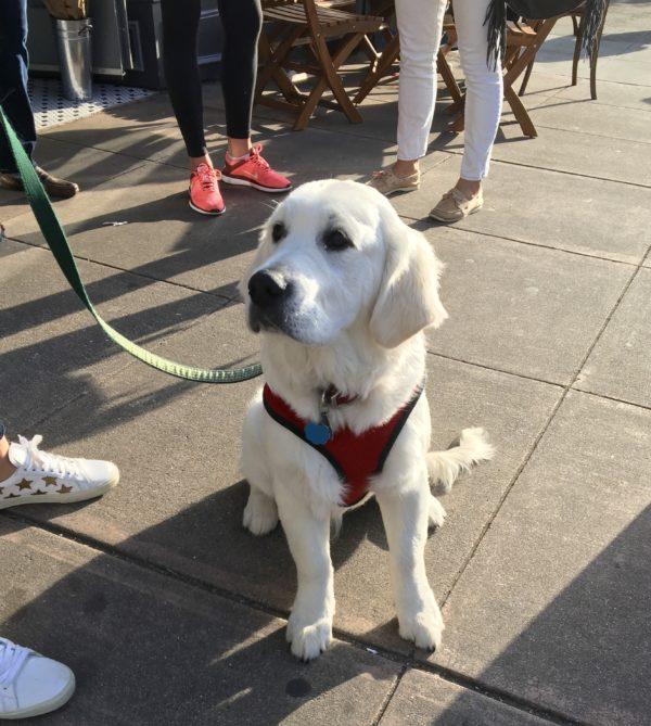 Platinum Blonde Golden Retriever Puppy