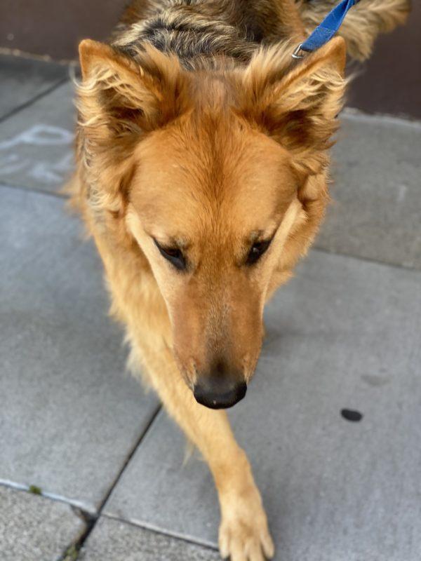 German Shepherd Golden Retriever Mix Heading Toward The Camera