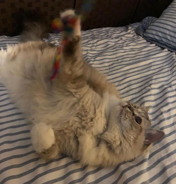 Giant Fluffy Half Maine Coon Half Ragdoll Cat Playing