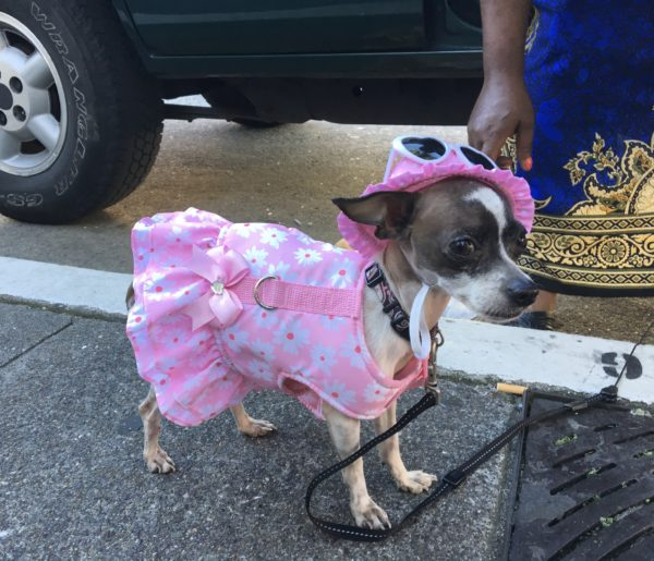 Chihuahua Wearing Pink Floral Dress And Sunglasses