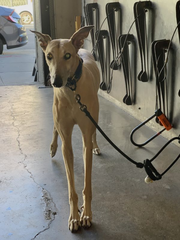 Greyhound Looking Bemused