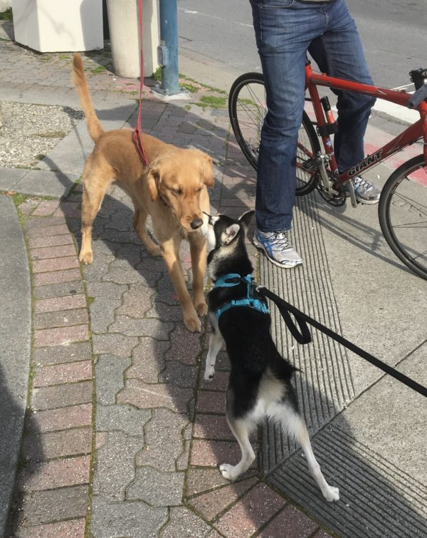 Klee Kai And Labrador Retriever Sniffing One Another