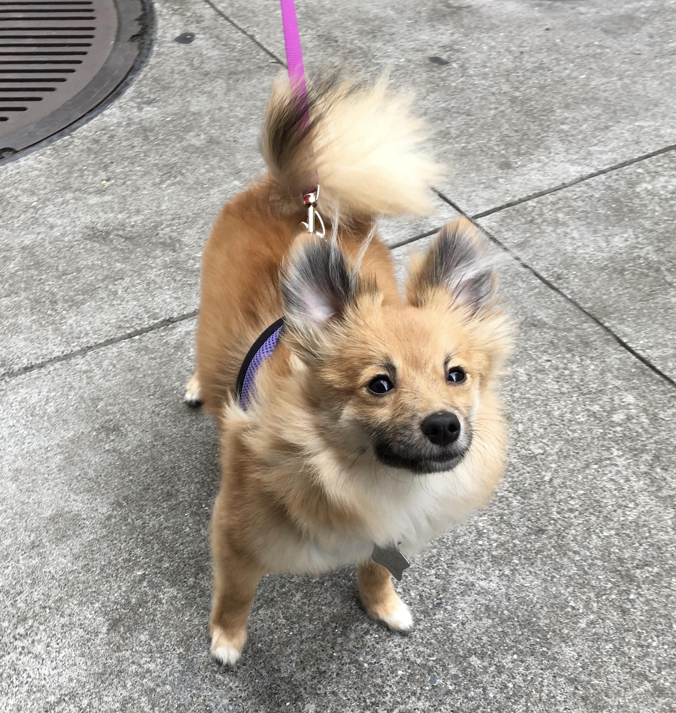 Happy Fox-Like Pomeranian