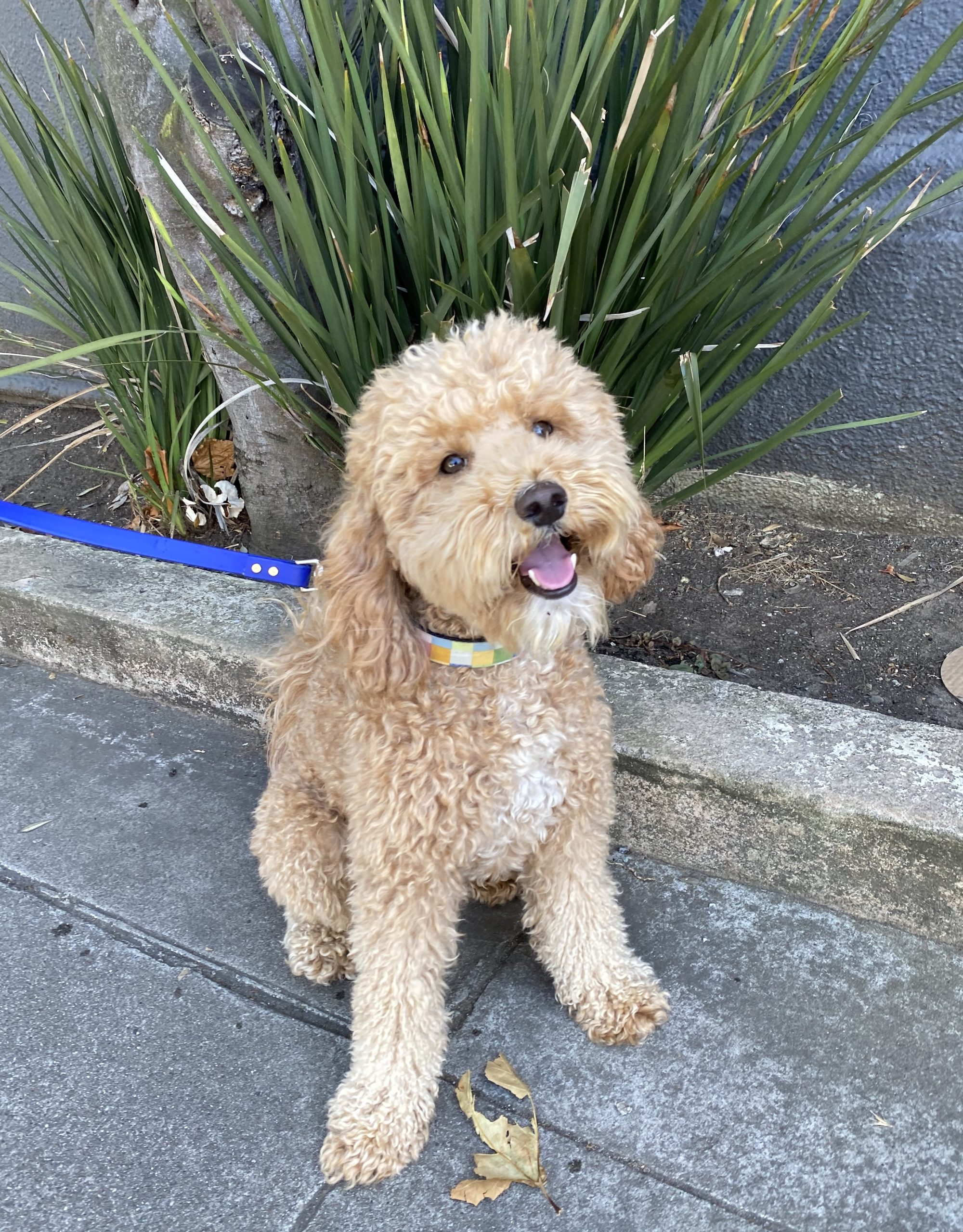 Goldendoodle With White Medallion And Goatee