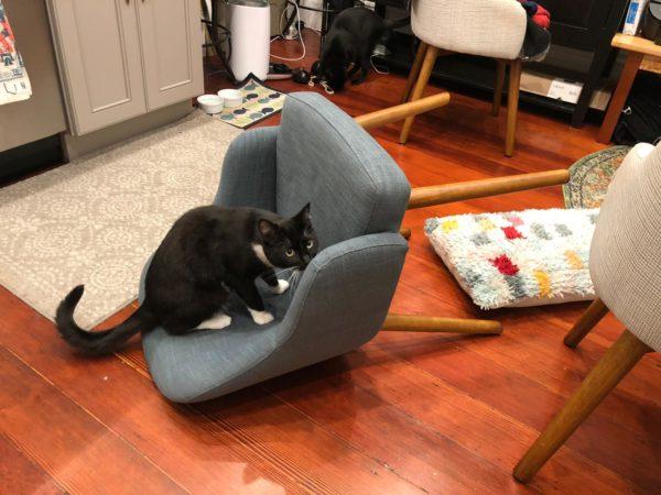 Tuxedo Cat Sitting On Upset Chair