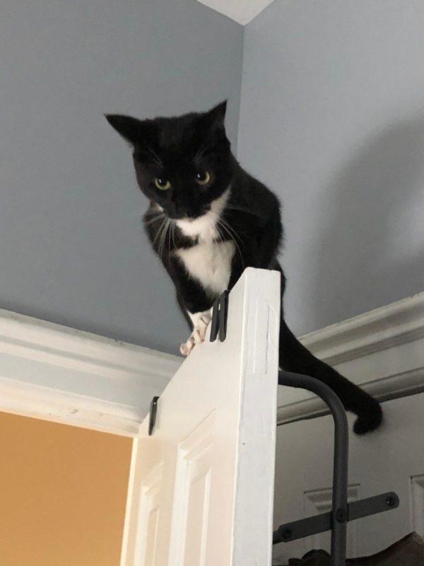 Tuxedo Cat Perched On Top Of A Door