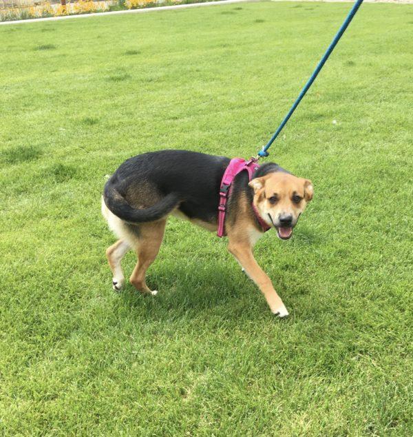 Labrador Retriever German Shepherd Hound Mix Grinning