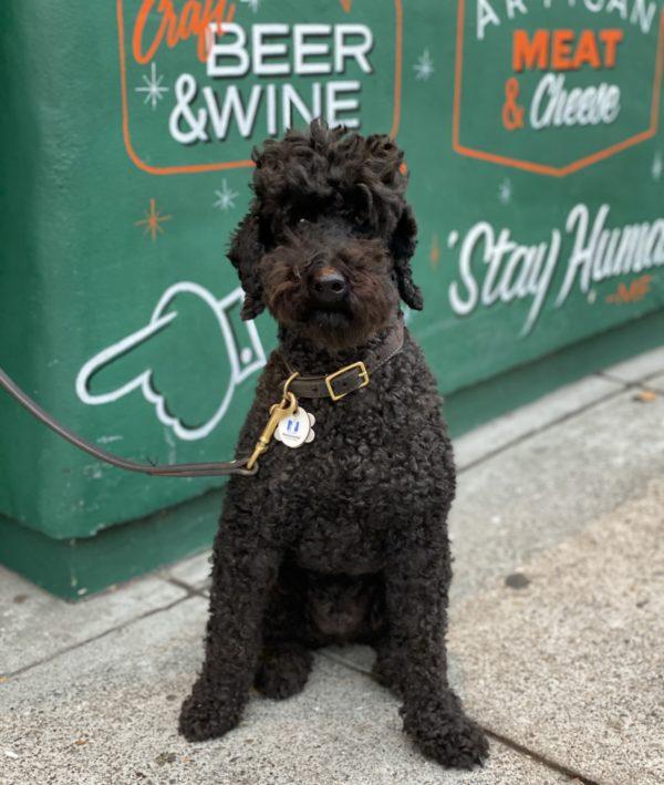 Black Standard Poodle Sitting