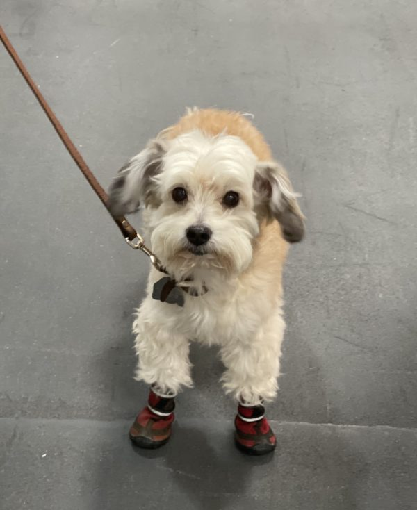 Small Fluffy Dog In Shoes