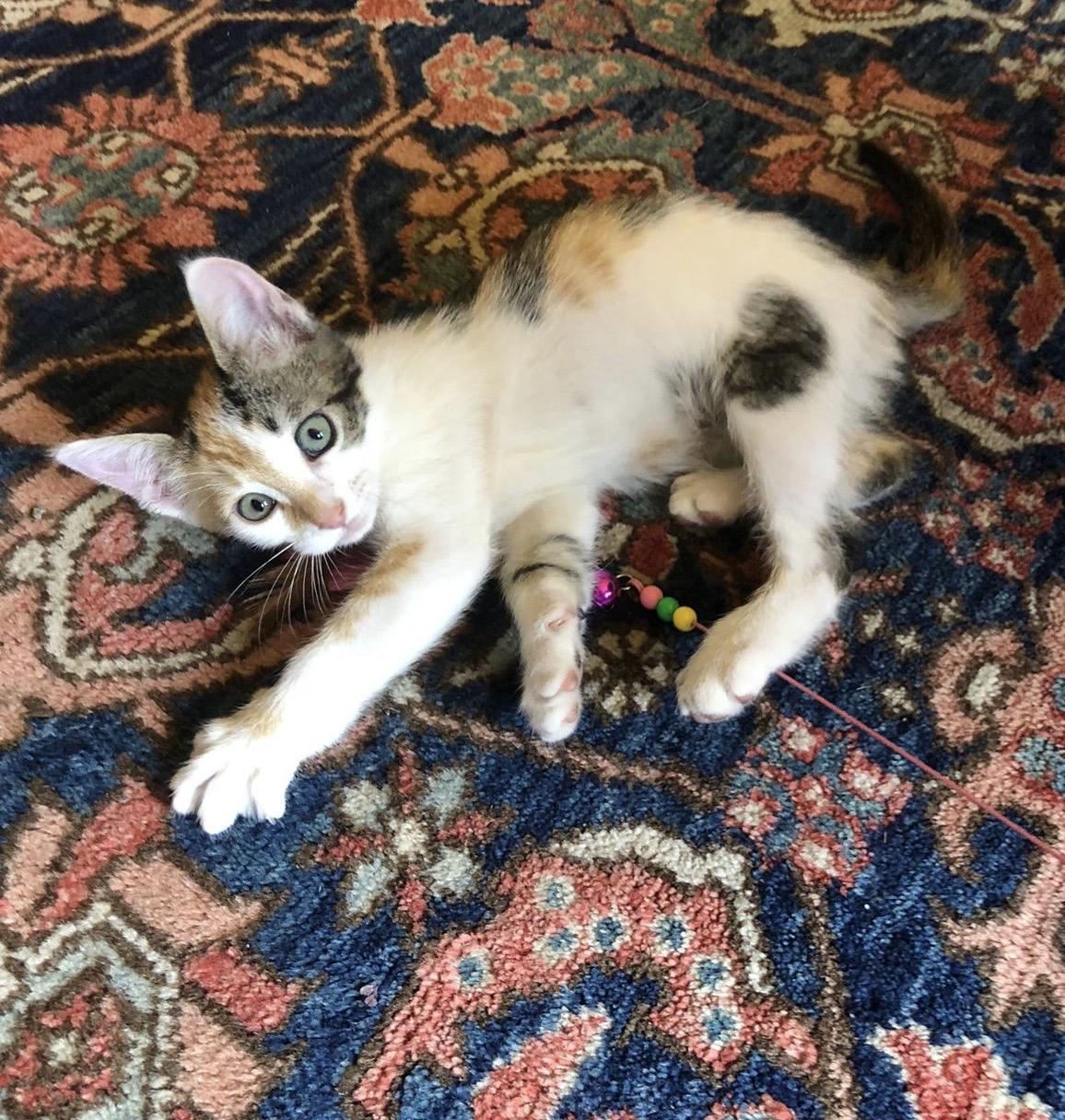 Calico Cat Lying On Persian Rug