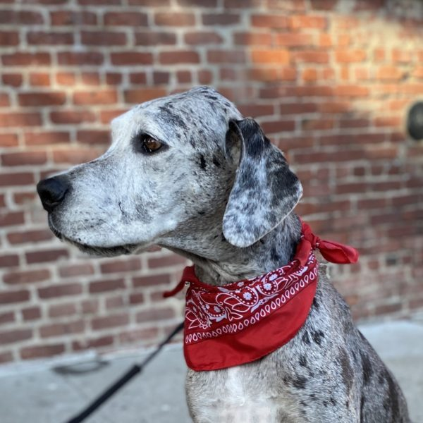 Merle Great Dane With Red Bandana Looks Serious